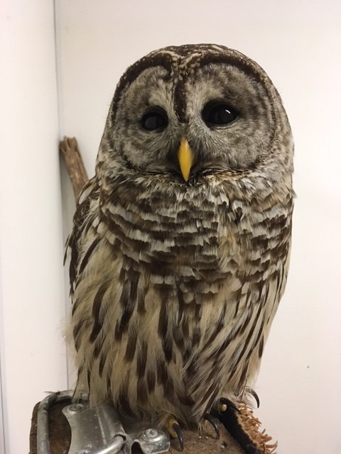 Rehab Case Files: Barred Owl