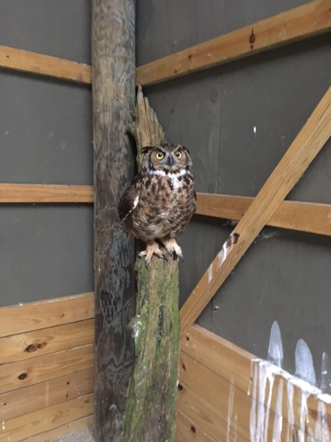Rehab Case Files: Great Horned Owl